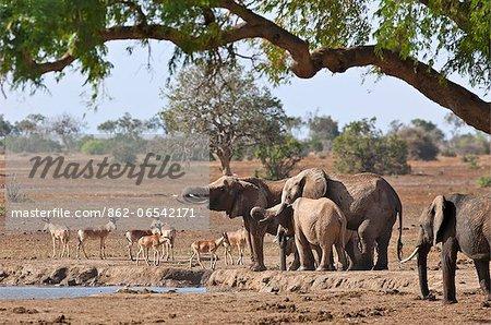 Elephants and Kongoni at a waterhole in Tsavo East National Park.