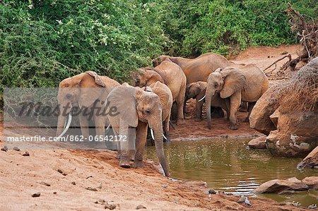 Elephants at a small waterhole in Tsavo East National Park.