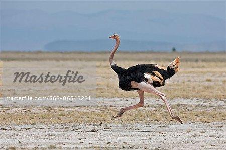 A Maasai ostrich strides across the open plains at Amboseli.