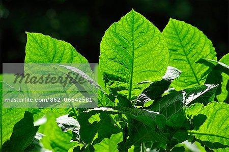 Tobacco plants on Ometepe Island, Nicaragua