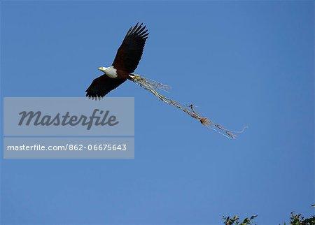 Fish Eagle, Haliaeetus vociferon, flying over the Chobe River, Chobe National park near town of Kasane, Botswana, Africa
