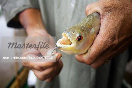 South America, Brazil, Amazonas, a fisherman holds a freshly caught Black or Red Eye piranha, Serrasalmus rhombeus, showing its sharp teeth