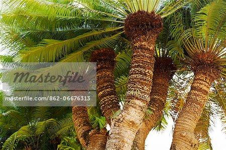 China, Yunnan, Mengla. Huge palms in the Xishuangbanna Tropical Botanical Gardens.