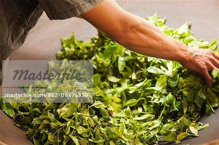 China, Yunnan, Jinghong. 'Frying' tea leaves to prevent fermentation, in a village near Jinghong.