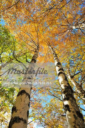 Birch trees. Autumn in the Serra da Estrela Nature Park, Portugal