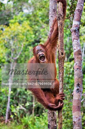Indonesia, Central Kalimatan, Tanjung Puting National Park. A female Bornean Orangutan yawning.