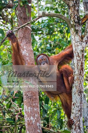 Indonesia, Central Kalimatan, Tanjung Puting National Park. A female Bornean Orangutan climbing a tree.
