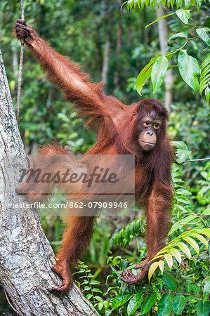 Indonesia, Central Kalimatan, Tanjung Puting National Park. A young Bornean Orangutan climbing a tree.