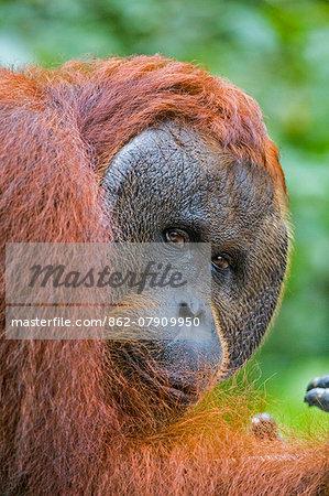 Indonesia, Central Kalimatan, Tanjung Puting National Park. A male Bornean Orangutan with distinctive cheek pads.