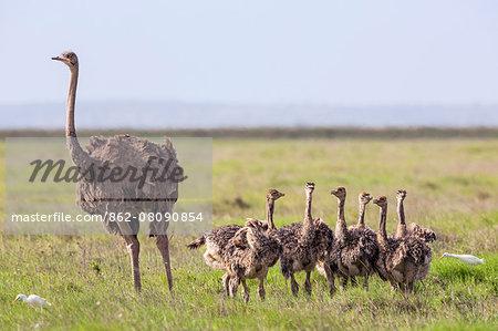 Kenya, Kajiado County, Amboseli National Park. A female Maasai Ostrich and chicks.
