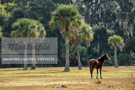 USA, Georgia, Cumberland Island, pony on meadow in the park