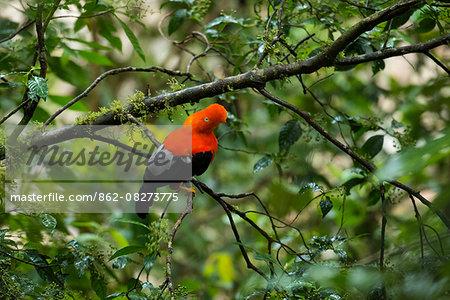South America, Peru, Manu National Park, Cock of the rock
