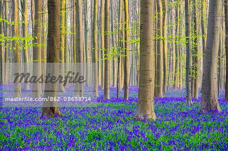 Belgium, Vlaanderen (Flanders), Halle. Bluebell flowers (Hyacinthoides non-scripta) carpet hardwood beech forest in early spring in the Hallerbos forest.