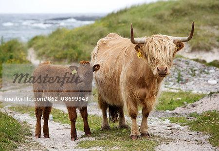 Scotland, Argyll and Bute, Isle of Tiree. Highland cattle at the coast.