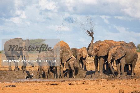 Kenya, Taita-Taveta County, Tsavo East National Park. A herd of African elephants fling mud over themselves at a muddy waterhole in dry savannah country.