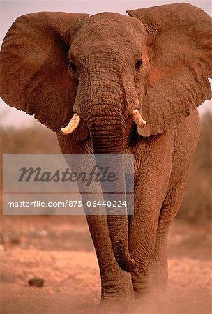 Portrait of African Elephant Bull