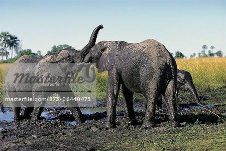 Elephants Playing in Water Hole Okavango Delta, Botswana