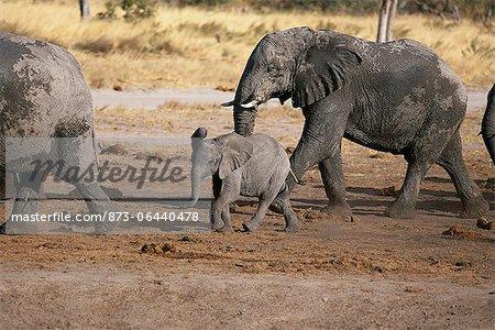 African Elephants with Calf Savuti Region Near Chobe National Park Botswana