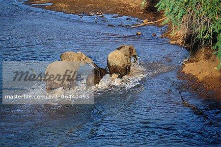 African Elephants Crossing River Kruger National Park Mpumalanga, South Africa