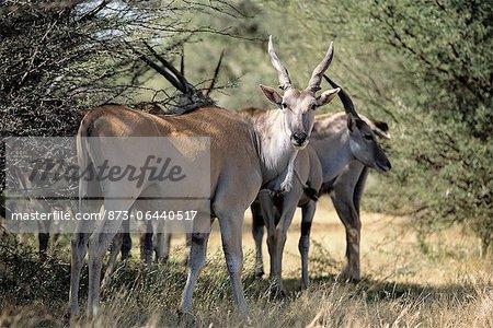 Eland Herd Near Trees Addo Elephant National Park Eastern Cape, South Africa
