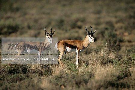 Springbok in Field Karoo Park, Western Cape South Africa