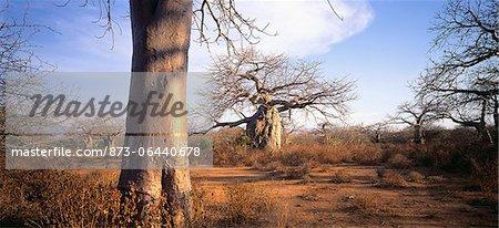 Baobab Trees in Landscape Tanzania