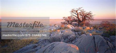 Baobab Tree Makgadikgadi Pans, Botswana