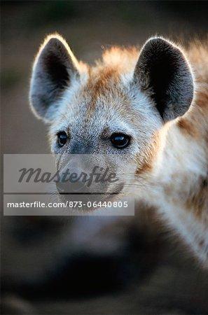 Spotted Hyena, Kruger National Park, South Africa