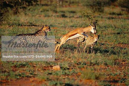 King Cheetahs Hunting An Impala