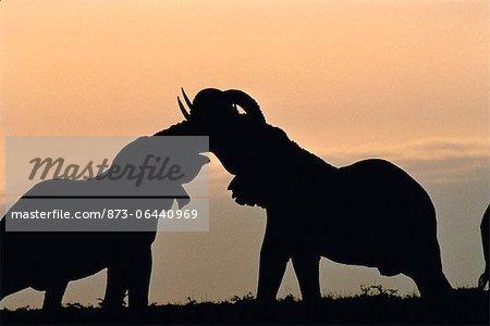 Silhouette of Two Elephants Trunk Wrestling