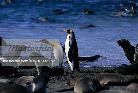 King Penguins and Seals, South Georgia Island, Antarctica