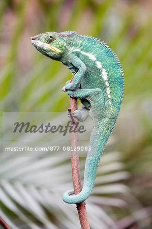 France,Paris. Vincennes. Zoo de Vincennes. Close up of a panther chameleon (Furcifer pardalis).