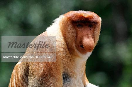 South-East Asia, Malaysia, Sabah, Borneo, Labuk Bay, Nature Reserve sheltering proboscis monkeys