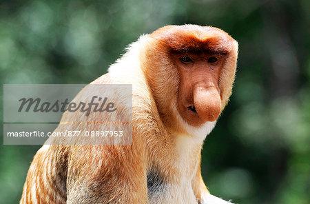 South-East Asia, Malaysia, Borneo, Sabah, Labuk Bay, Natural Reserve sheltering  proboscis monkeys