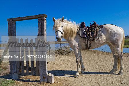 France, Southern France, Gard, Camargue, Saintes Maries de la Mer, Camargue horse