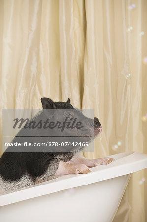 A mini pot bellied pig in a bathtub, looking through the shower curtain.