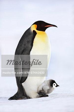 Emperor penguin with chick on feet, Aptenodytes forsteri, Weddell Sea, Antarctica
