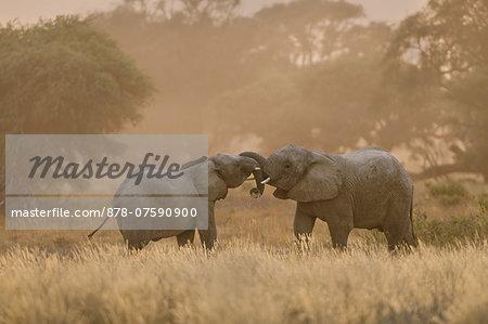 Young desert elephants, Loxodonta africana, twining trunks, Huab River, Torra Conservancy, Damaraland, Namibia