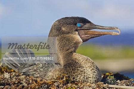 Flightless cormorant, Phalacrocorax harrisi, Galapagos Islands