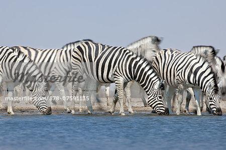 Zebras drinking at waterhole, Equus quagga, Etosha National Park, Namibia