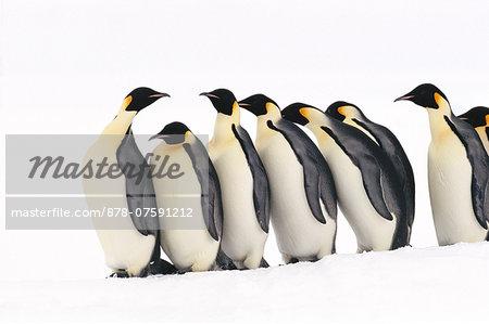 Emperor penguins, Aptenodytes forsteri, Weddell Sea, Antarctica