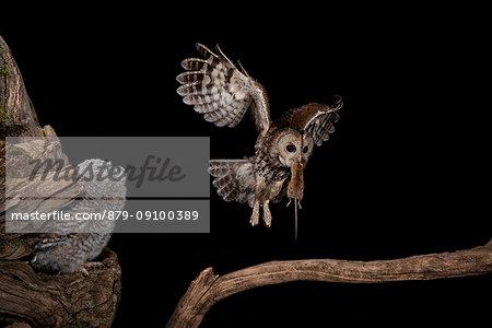 The Tawny owl feeds its young, Trentino Alto-Adige, Italy