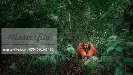 Sumatran orangutan sitting on a log in Gunung Leuser National Park, Northern Sumatra.