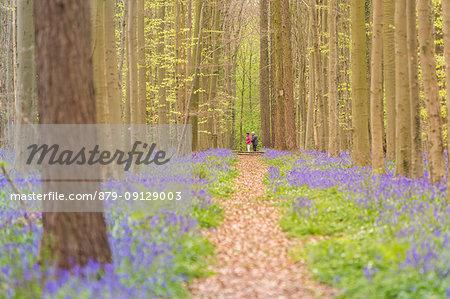 Touristic pathway into the Halle Forest, Halle, Bruxelles, Flemish Brabant, Flanders, Belgium