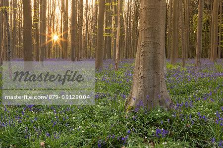 Bluebells carpet into the Halle Forest at sunrise, Halle, Bruxelles, Flemish Brabant, Flanders, Belgium