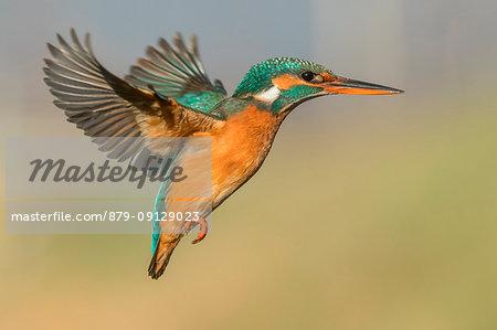 Kingfisher in flight ready to hunt, Trentino Alto-Adige, Italy