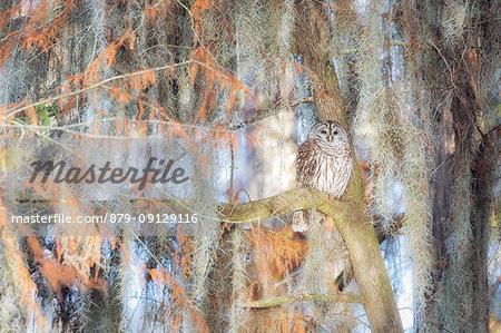 Barred Owl (strix varia); Lake Martin, Breaux Bridge, Atchafalaya Basin, Southern United States, USA; North America