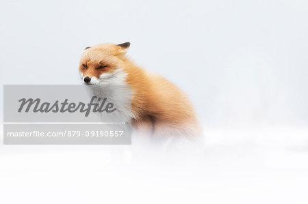 Red fox, Notsuke peninsula, Shibetsu, eastern hokkaido, Japan.