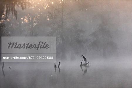 Great blue Heron (Ardea herodias), Lake Martin, Atchafalaya Basin, Breaux Bridge, Louisiana, United States