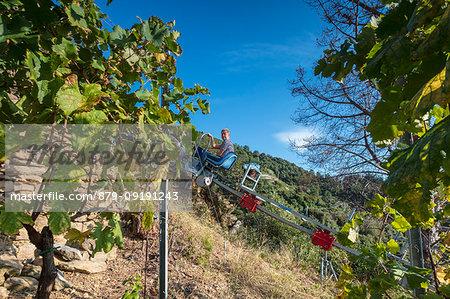 Farmer during the harvest of grape, Vernazza, Cinque Terre, province of La Spezia, Liguria, Italy